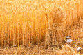 Sheaves of ripe wheat sheaf golden and potr with water Stock Images
