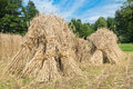 Sheaves of rye standing at cornfield Royalty Free Stock Photo