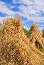 Sheaves of a rye after a wind. Royalty Free Stock Photo