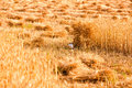 Sheaves of wheat sheaf ripe golden Royalty Free Stock Photography