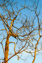 Shed leaves tree against sky Royalty Free Stock Photo