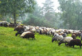 Sheep. Royalty Free Stock Photography