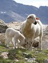 Sheep in the Alps Stock Photo