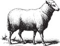 Sheep ancient vector engraving of a isolated on white Stock Photo