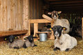 Sheep animals in farm homestead Royalty Free Stock Images