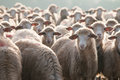Sheep attention please! Royalty Free Stock Photo