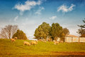 Sheep in australia grazing on farmland victoria Royalty Free Stock Photography