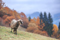 Sheep on autumn meadow in mountain Stock Photos