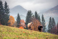 Sheep on autumn meadow in mountain Royalty Free Stock Photo