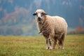 Sheep on autumn meadow in mountain Stock Photo