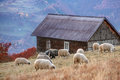 Sheep on autumn meadow in mountain Stock Images