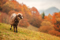 Sheep on autumn meadow in mountain Royalty Free Stock Images