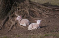 Sheep babies born in farm Royalty Free Stock Photo