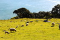 Sheep with baby lambs new zealand Royalty Free Stock Image