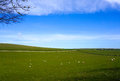 Sheep on the beautiful green meadow in uk Stock Photography