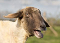 Sheep bleats showing it s tongue and teeth as it Stock Images