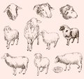 Sheep breeding set of vector sketches Royalty Free Stock Photography