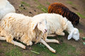 Sheep brown and white lying on the ground Royalty Free Stock Images