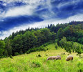 Sheep browsing pasture located forest carpahian mountains ukraine Stock Photography