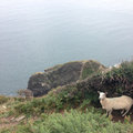 Sheep by cliff on path near the sea Royalty Free Stock Images
