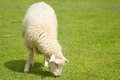 Sheep close up of in sunny day Royalty Free Stock Photos