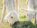 Sheep closeup of two grazing Royalty Free Stock Photos