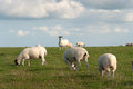 Sheep in Cornwall Royalty Free Stock Photos