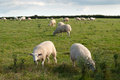 Sheep in cornwall graze at sunset Stock Images