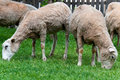 Sheep couple sheeps eating green grass on farm Royalty Free Stock Photos