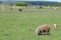 Sheep cows pasture Royalty Free Stock Photos