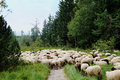 Sheep cross a hiking trail white and dark in the black forest blueberry bushes and spruces Royalty Free Stock Image