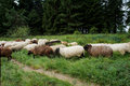 Sheep cross the trail white and dark a hiking in black forest blueberry bushes and spruces Royalty Free Stock Images