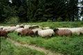 Sheep cross the trail Royalty Free Stock Photo