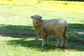 Sheep cute on grass Stock Photo
