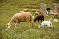 A sheep with cute little lambs on meadow Stock Photos
