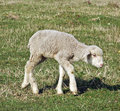 Sheep cute young on pasture Royalty Free Stock Photos