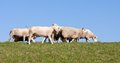 Sheep at a dike with a blue sky Royalty Free Stock Photo