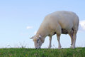 Sheep on a dike Royalty Free Stock Photo