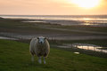 Sheep on dike guarding the wadden sea sunset tide is low Royalty Free Stock Photo