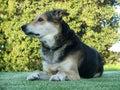 Sheep Dog Royalty Free Stock Images