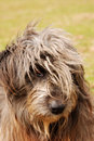Sheep dog Stock Photography