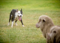 Sheep  dog 2 Royalty Free Stock Photo
