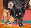 Sheep dog holding bone her forelegs Stock Image