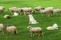 Sheep and dogs on green grass field Royalty Free Stock Photo