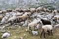 Sheep drove the of in the mountains Stock Images