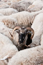 Sheep the drove of one horned in the middle Royalty Free Stock Photography