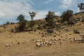 Sheep on dry land Royalty Free Stock Photo