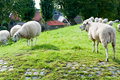 Sheep on a Dutch dike Royalty Free Stock Images