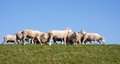 Sheep at a with a blue sky Royalty Free Stock Photo