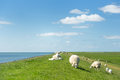 Sheep at the Dutch dike Royalty Free Stock Photo